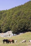 Kuh-und Pferde-Landschaft-Pollino-Wiese Lizenzfreies Stockbild