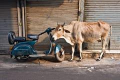 Kuh und Roller, altes Delhi, Indien. Lizenzfreie Stockfotos