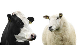 Kuh und Schafe Stockfoto