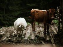 Kuh und Schafe aus den Grund lizenzfreie stockfotos