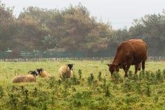 Kuh und Schafe, die auf einem Gebiet weiden lassen Lizenzfreie Stockfotografie