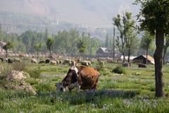 Kuh und Schafe, die nahe Dorf weiden lassen Lizenzfreies Stockfoto