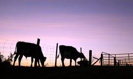 Kuh- und Stierschattenbilder auf Weide bei Sonnenaufgang lizenzfreies stockbild