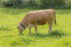 Kuh und Weide Stockfoto