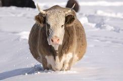 Kuh unter dem Schnee, der nach Gras sucht Winter-landwirtschaftliche Szene Lizenzfreie Stockfotos