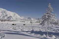 Kuh unter dem Schnee, der nach Gras sucht Winter-landwirtschaftliche Szene Stockbild