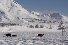 Kuh unter dem Schnee, der nach Gras sucht Winter-landwirtschaftliche Szene Lizenzfreies Stockbild