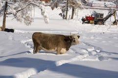 Kuh unter dem Schnee, der nach Gras sucht Winter-landwirtschaftliche Szene Lizenzfreie Stockbilder