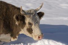 Kuh unter dem Schnee, der nach Gras sucht Winter-landwirtschaftliche Szene Stockfotos