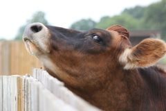 Kuh verkratzt Kinn auf Zaun Lizenzfreie Stockfotos