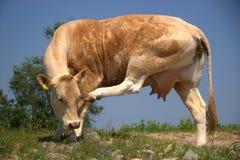 Kuh verkratzt seinen Kopf Stockbild