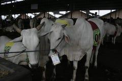 Kuh-Vieh und Käfige Lizenzfreie Stockfotografie