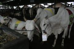 Kuh-Vieh und Käfige Lizenzfreie Stockbilder