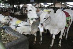 Kuh-Vieh und Käfige Stockbild