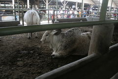 Kuh-Vieh und Käfige Stockfoto