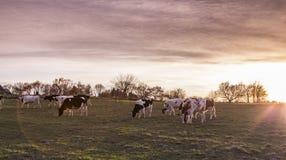 Kuh-Weiden-Ackerland bei Sonnenuntergang Stockbilder