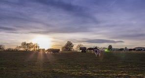 Kuh-Weiden-Ackerland bei Sonnenuntergang Lizenzfreie Stockfotos