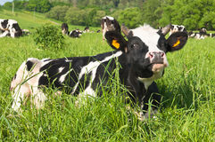 Kuh weiden lässt Stockfotos