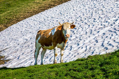 Kuh, welche die Kamera betrachtet Stockfotografie
