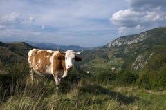Kuh, welche die Spätsommersonne genießt Lizenzfreie Stockfotografie