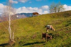 Kuhbauernhof, der grünes Gras weiden lässt Stockfotos