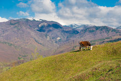 Kuhbauernhof, der grünes Gras weiden lässt Lizenzfreie Stockfotos