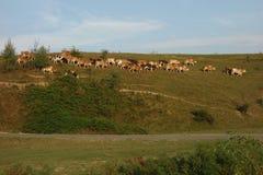 Kuhherde auf dem Hügel, Weide am Ende des Tages verlassend Lizenzfreies Stockfoto