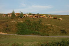 Kuhherde auf dem Hügel, Weide am Ende des Tages verlassend Lizenzfreies Stockbild