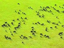 Kuhherde auf grünem Feld. Lizenzfreie Stockfotografie