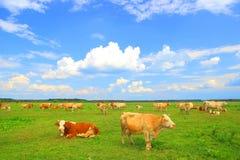 Kuhherde in der Natur Stockbild