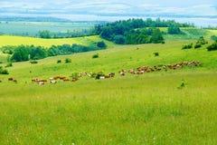 Kuhherde, die auf einer schönen grünen Wiese, mit Bergen im Hintergrund weiden lässt Stockfoto