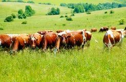 Kuhherde, die auf einer schönen grünen Wiese, mit Bergen im Hintergrund weiden lässt Stockfotos