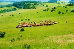Kuhherde, die auf einer schönen grünen Wiese, mit Bergen im Hintergrund weiden lässt Lizenzfreie Stockfotos