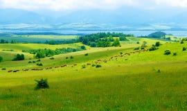 Kuhherde, die auf einer schönen grünen Wiese, mit Bergen im Hintergrund weiden lässt Stockfotografie