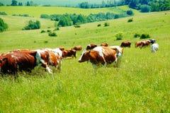 Kuhherde, die auf einer schönen grünen Wiese, mit Bergen im Hintergrund weiden lässt Lizenzfreie Stockfotografie