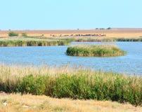 Kuhherde, die auf Weide durch See weiden lässt Lizenzfreie Stockfotos