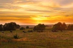 Kuhherde lässt in der Wiese bei Sonnenuntergang weiden Stockbild