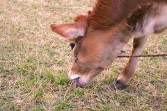 Kuhkalb, das Gras im Boden isst stockfotografie