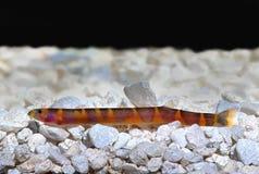 Kuhlii de Pangio del siluro del Loach de Kuhli Imagen de archivo