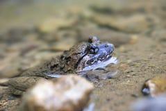 Kuhliis fanged лягушка Стоковое фото RF