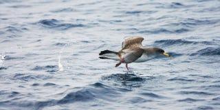 Kuhls pijlstormvogel, Cory's Shearwater, Calonectris diomedea