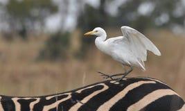 Kuhreiher auf Zebra lizenzfreie stockfotografie
