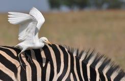 Kuhreiher auf Zebra Stockbild