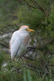 Kuhreiher, Cattle egret, Bubulcus ibis Stock Photography