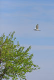 Kuhreiher u. x28; Bubulcus ibis& x29; lizenzfreies stockfoto
