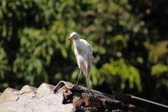 Kuhreiher-/Vogelkuhreiher Stockfotos