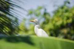 Kuhreiher-/Vogelkuhreiher Lizenzfreie Stockbilder
