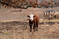 Kuhstellung in der Weide auf einer Ranch stockbilder