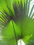 KUI tree. In the garden Thailand Stock Photo