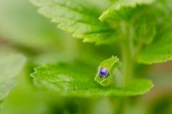 Kuif gebied-ereprijs (crista-galli van Veronica) in bloem stock fotografie